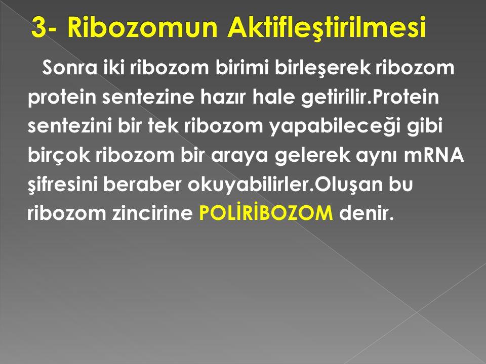 3- Ribozomun Aktifleştirilmesi