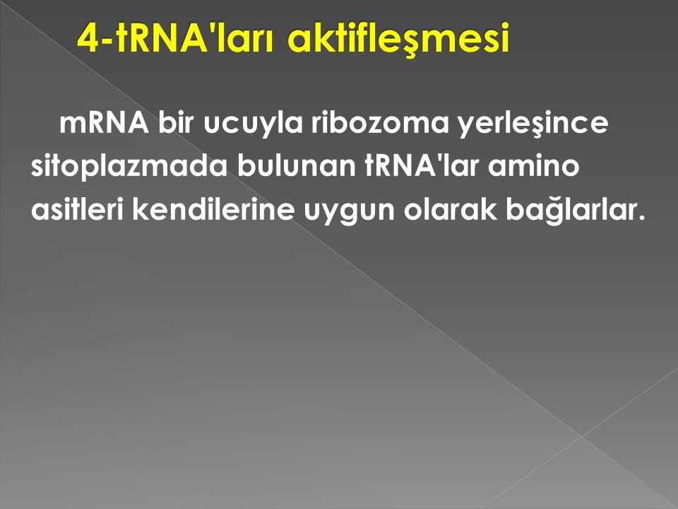 4-tRNA ları aktifleşmesi