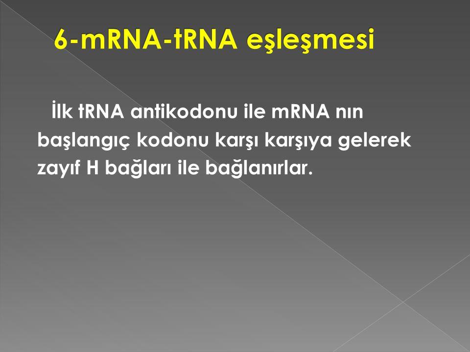 6-mRNA-tRNA eşleşmesi İlk tRNA antikodonu ile mRNA nın başlangıç kodonu karşı karşıya gelerek zayıf H bağları ile bağlanırlar.