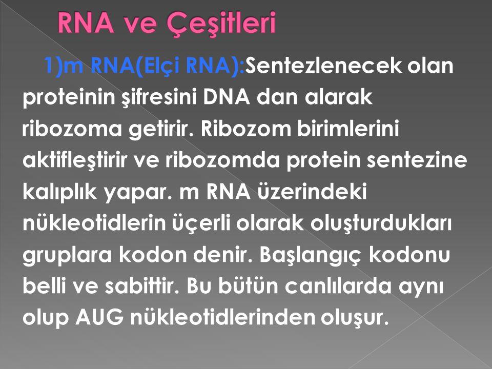 RNA ve Çeşitleri proteinin şifresini DNA dan alarak