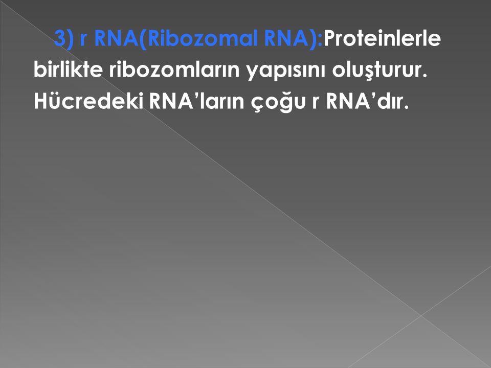 birlikte ribozomların yapısını oluşturur.