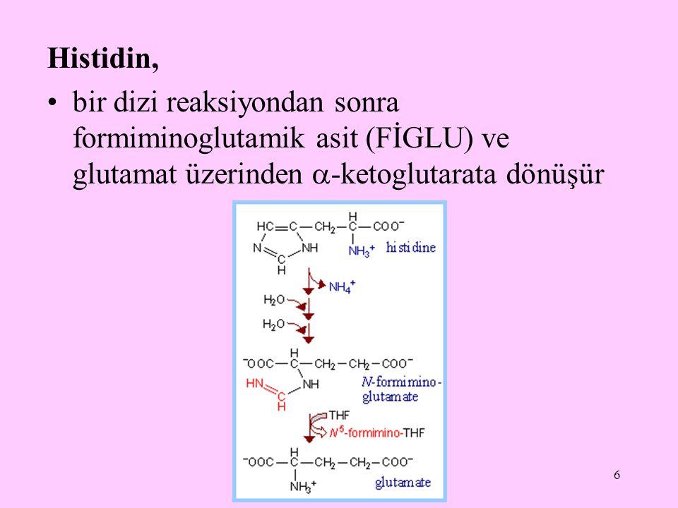 Histidin, bir dizi reaksiyondan sonra formiminoglutamik asit (FİGLU) ve glutamat üzerinden -ketoglutarata dönüşür.