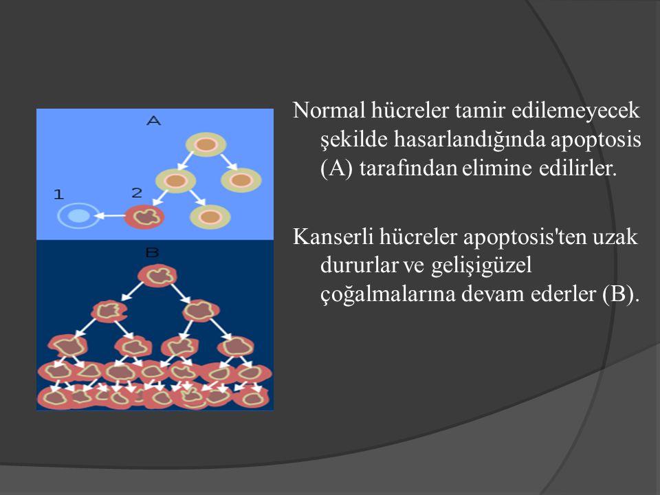 Normal hücreler tamir edilemeyecek şekilde hasarlandığında apoptosis (A) tarafından elimine edilirler.