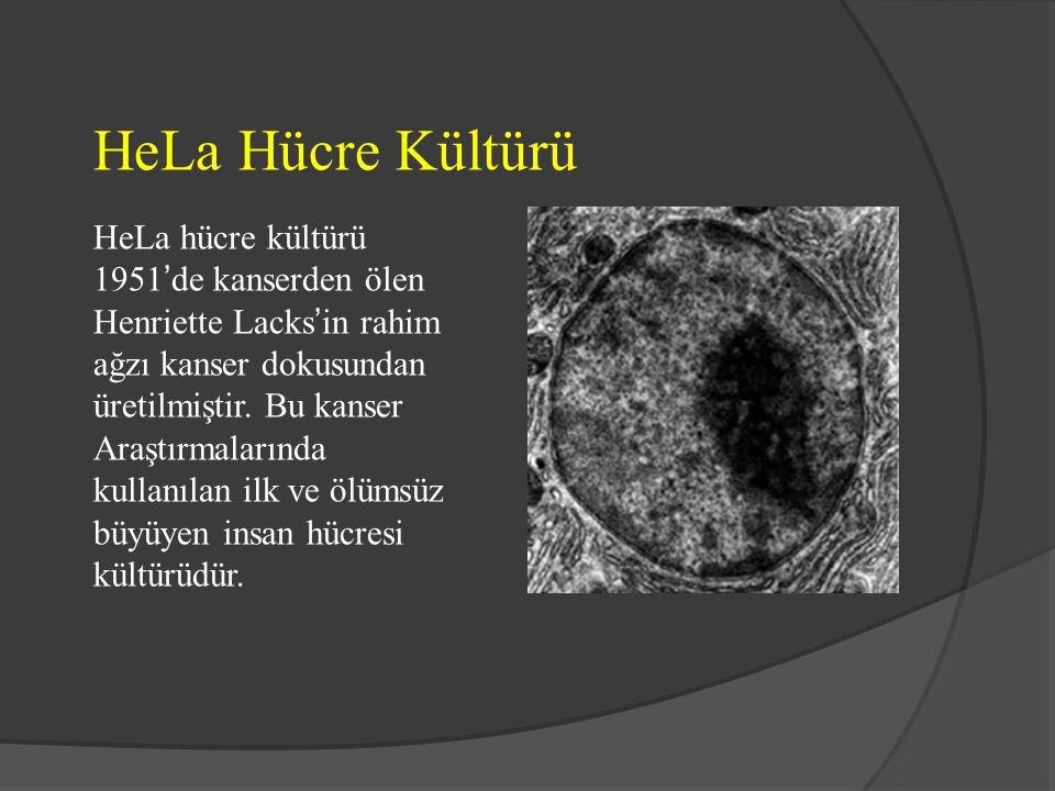 HeLa Hücre Kültürü HeLa hücre kültürü 1951'de kanserden ölen