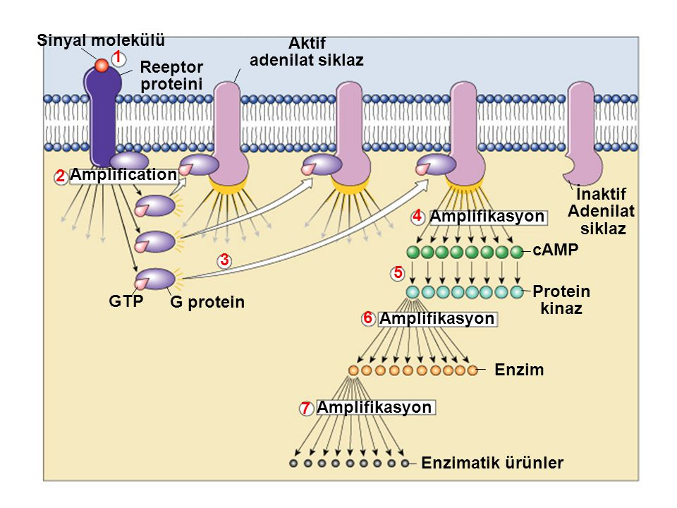 Sinyal molekülü Aktif. adenilat siklaz. 1. Reeptor. proteini. 2. Amplification. İnaktif. Adenilat.