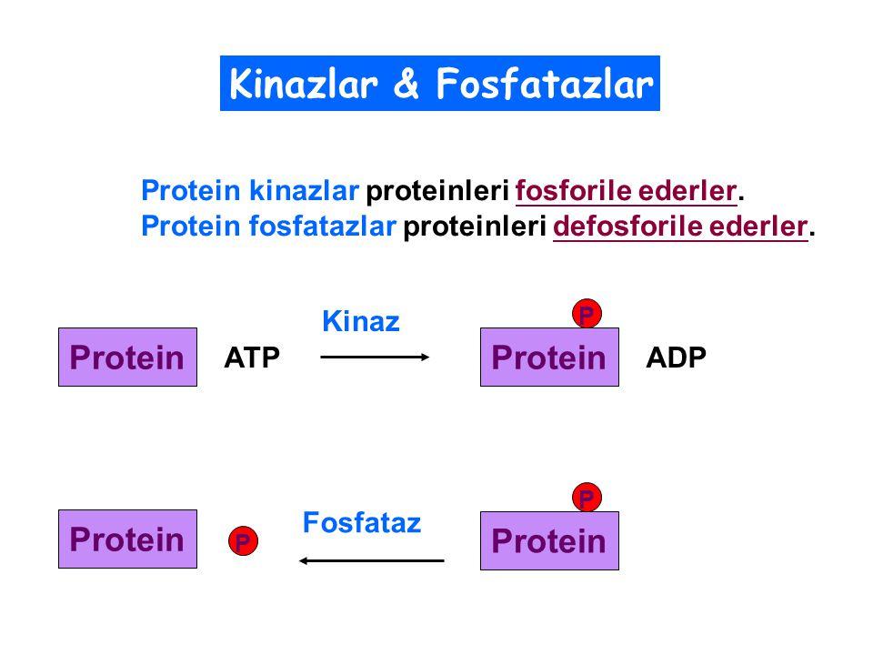 Kinazlar & Fosfatazlar