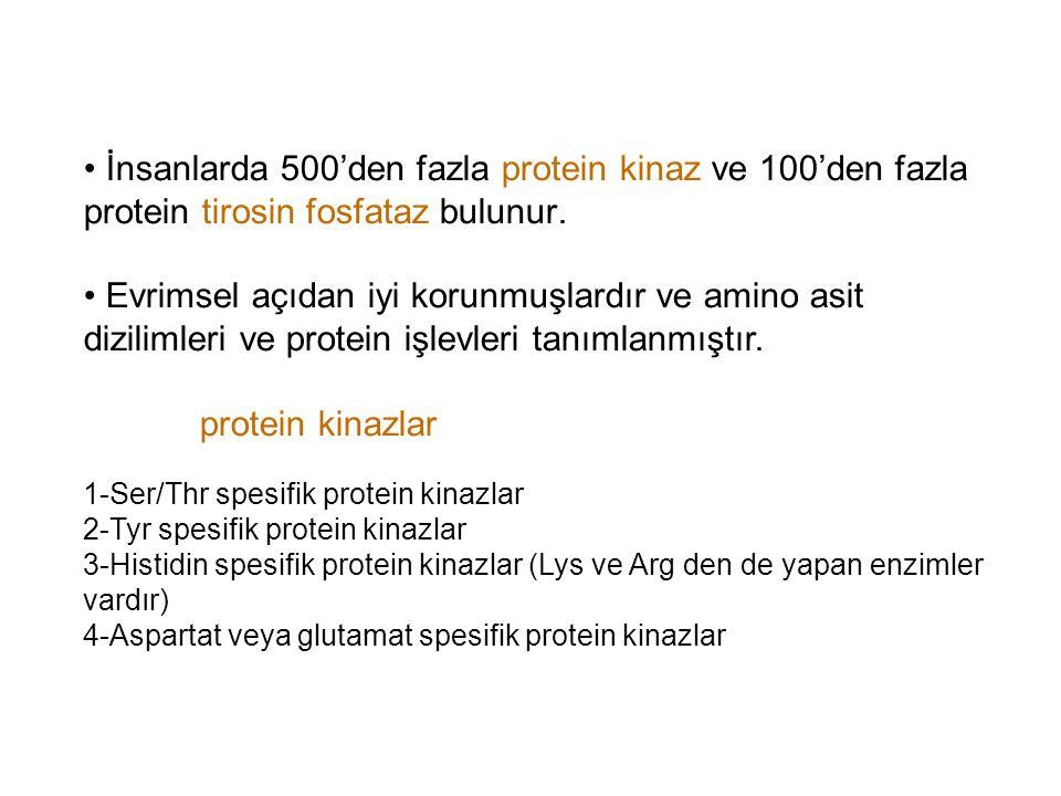 • İnsanlarda 500'den fazla protein kinaz ve 100'den fazla protein tirosin fosfataz bulunur.