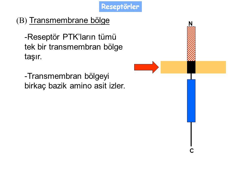 (B) Transmembrane bölge