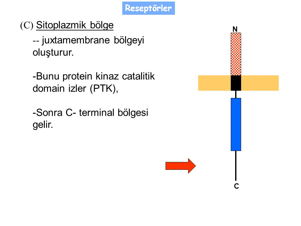 - juxtamembrane bölgeyi oluşturur.