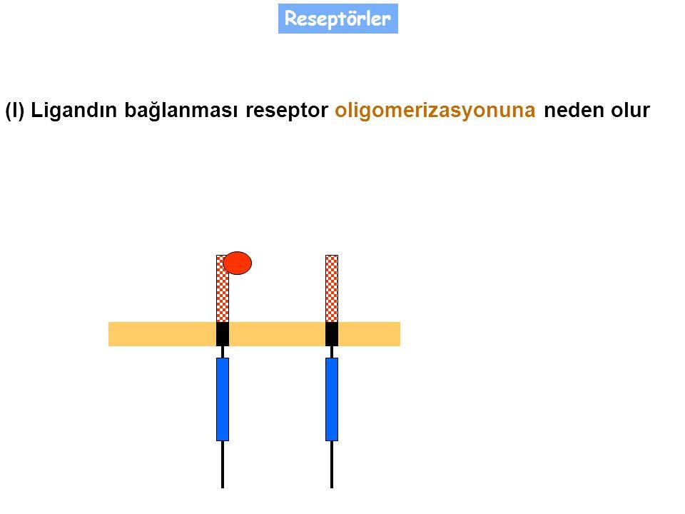 (I) Ligandın bağlanması reseptor oligomerizasyonuna neden olur