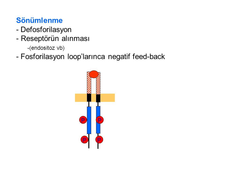 - Fosforilasyon loop'larınca negatif feed-back