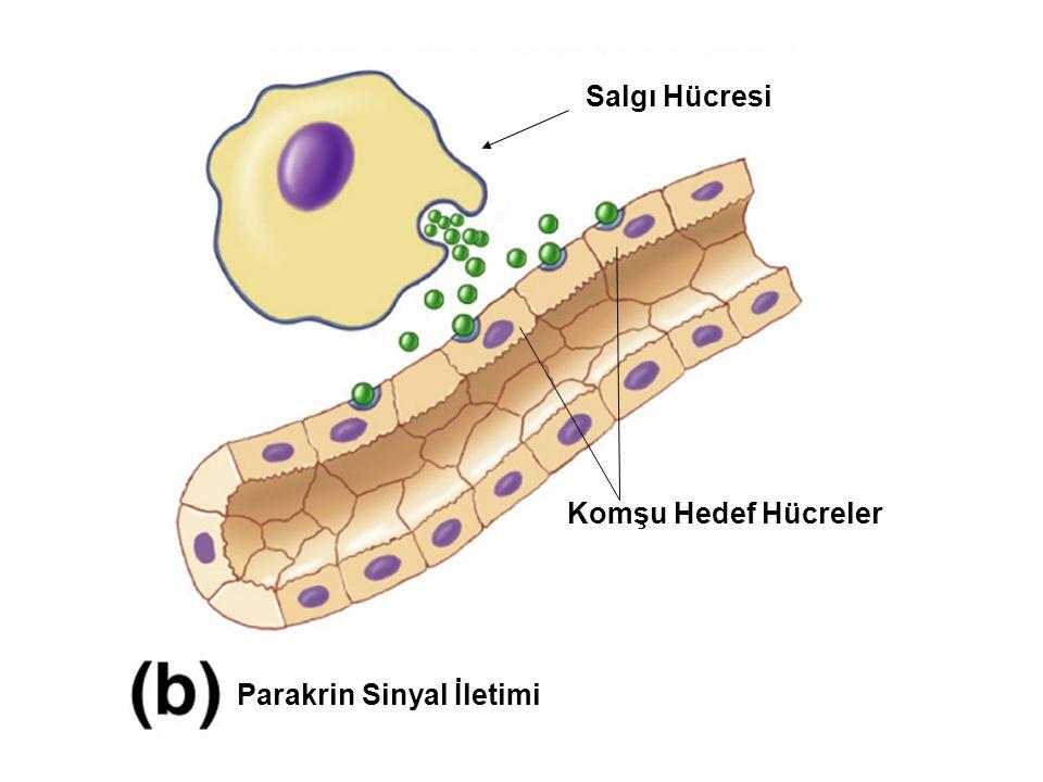 Parakrin Sinyal İletimi