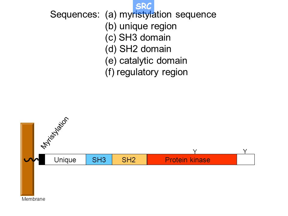 Sequences: (a) myristylation sequence (b) unique region (c) SH3 domain