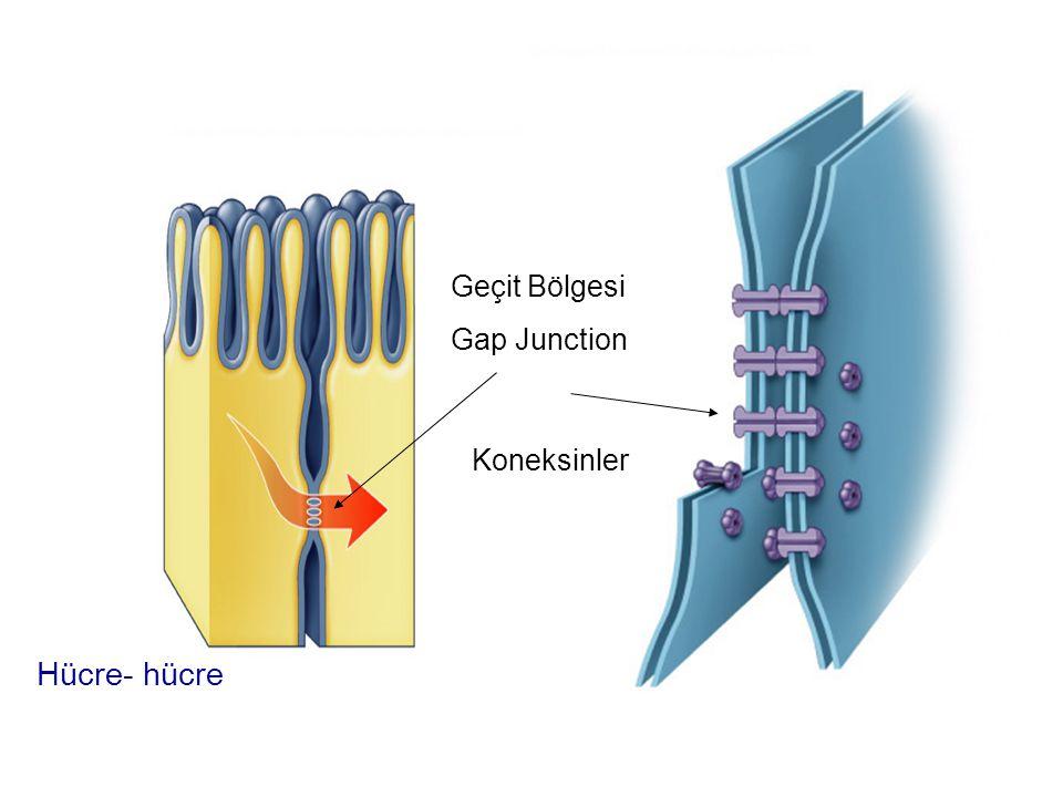 Geçit Bölgesi Gap Junction Koneksinler Hücre- hücre