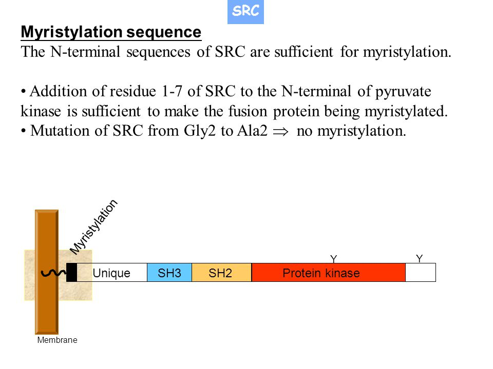 Myristylation sequence