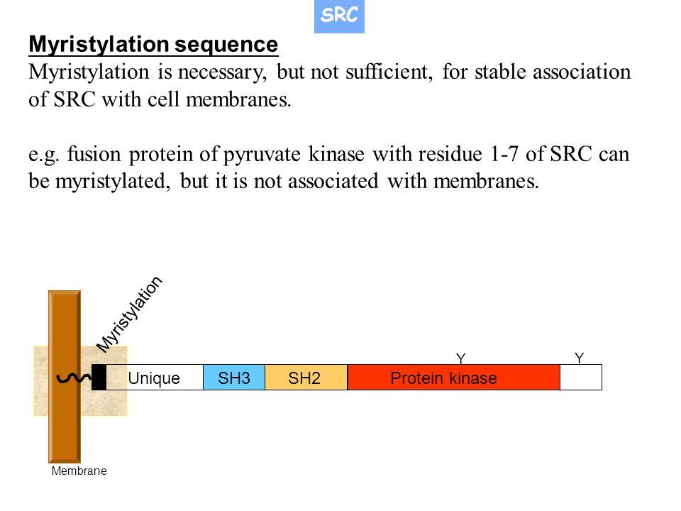 Myristylation sequence