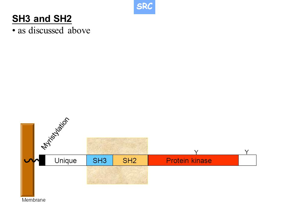 SH3 and SH2 • as discussed above SRC Myristylation Unique SH3 SH2