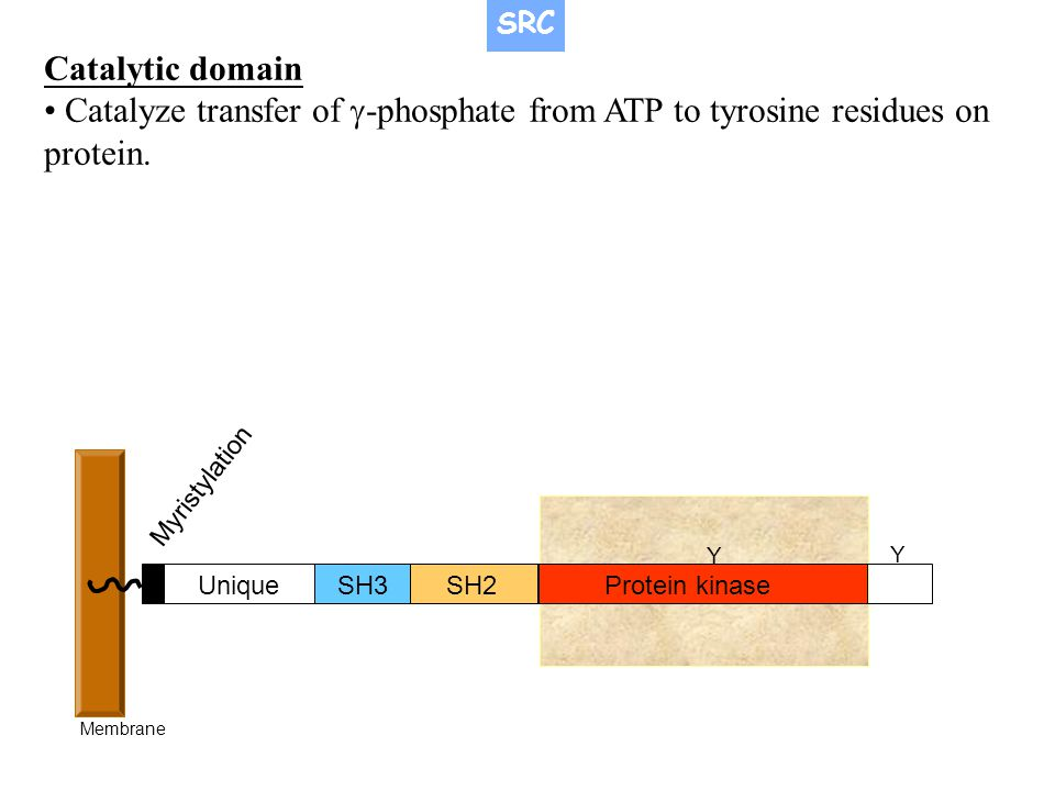 SRC Catalytic domain. • Catalyze transfer of g-phosphate from ATP to tyrosine residues on protein.