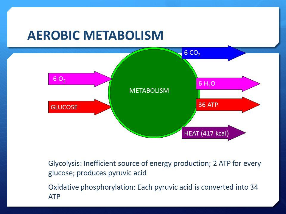 AEROBIC METABOLISM 6 O2. GLUCOSE. METABOLISM. 6 CO2. 6 H2O. 36 ATP. HEAT (417 kcal)