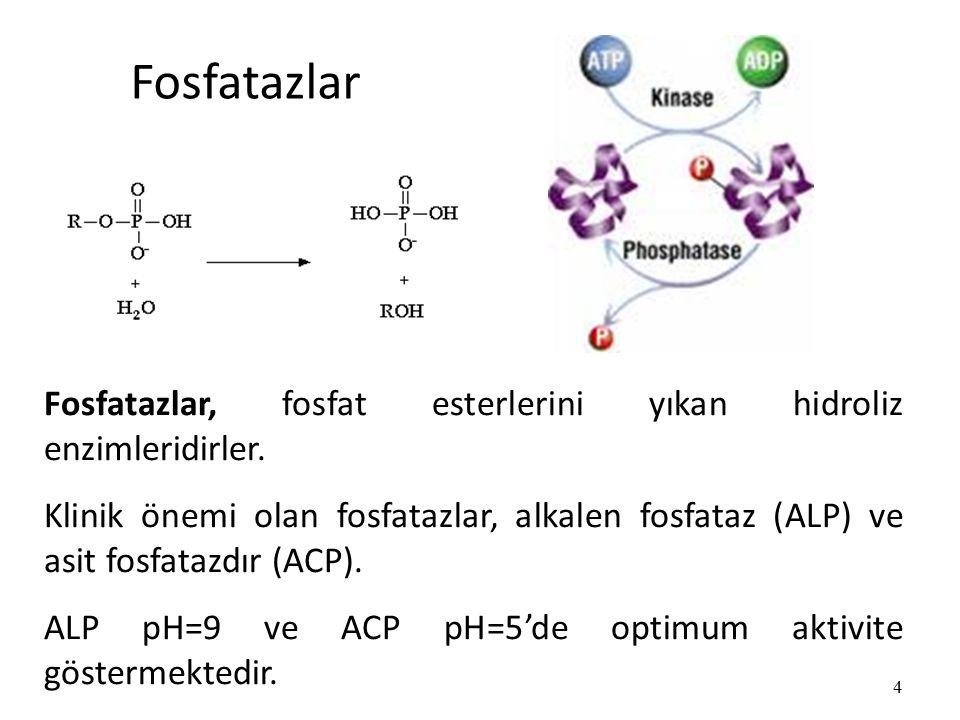 Fosfatazlar Fosfatazlar, fosfat esterlerini yıkan hidroliz enzimleridirler.