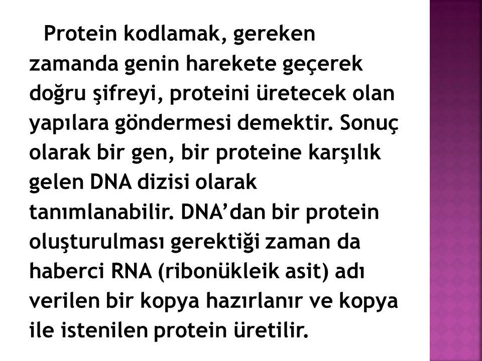 Protein kodlamak, gereken zamanda genin harekete geçerek doğru şifreyi, proteini üretecek olan yapılara göndermesi demektir.