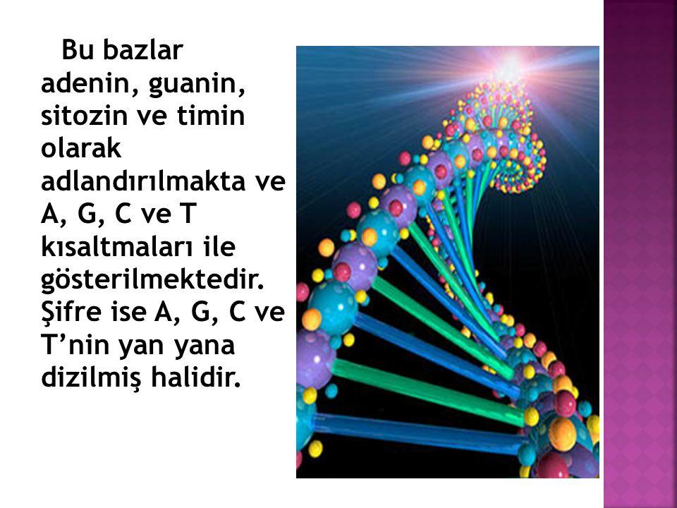Bu bazlar adenin, guanin, sitozin ve timin olarak adlandırılmakta ve A, G, C ve T kısaltmaları ile gösterilmektedir.