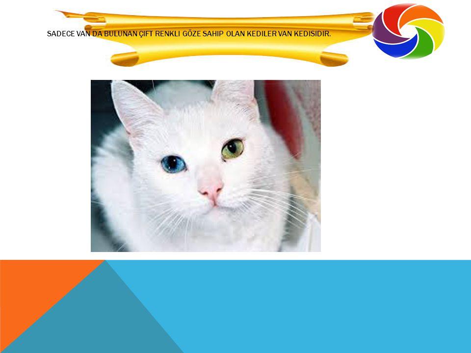sadece Van da bulunan çift renkli göze sahip olan kediler Van kedisidir.