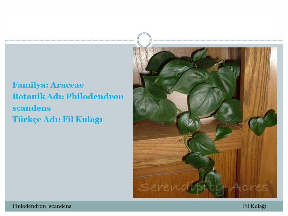 Botanik Adı: Philodendron scandens Türkçe Adı: Fil Kulağı
