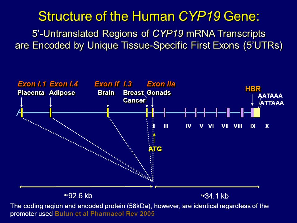 Structure of the Human CYP19 Gene: