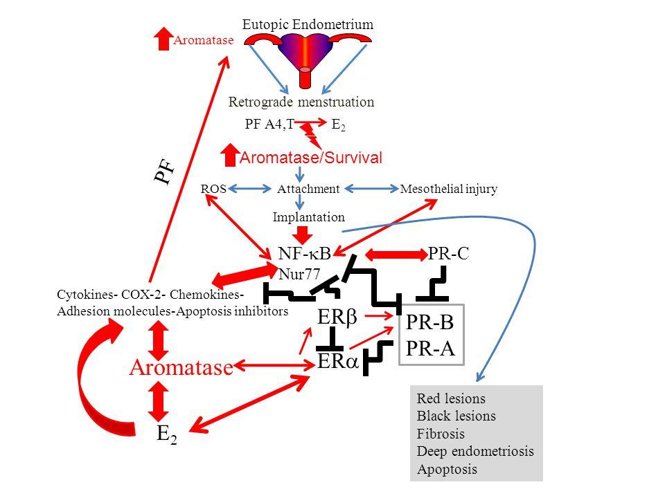 Aromatase PF ERb PR-B PR-A ERa E2 NF-kB PR-C Aromatase/Survival Nur77
