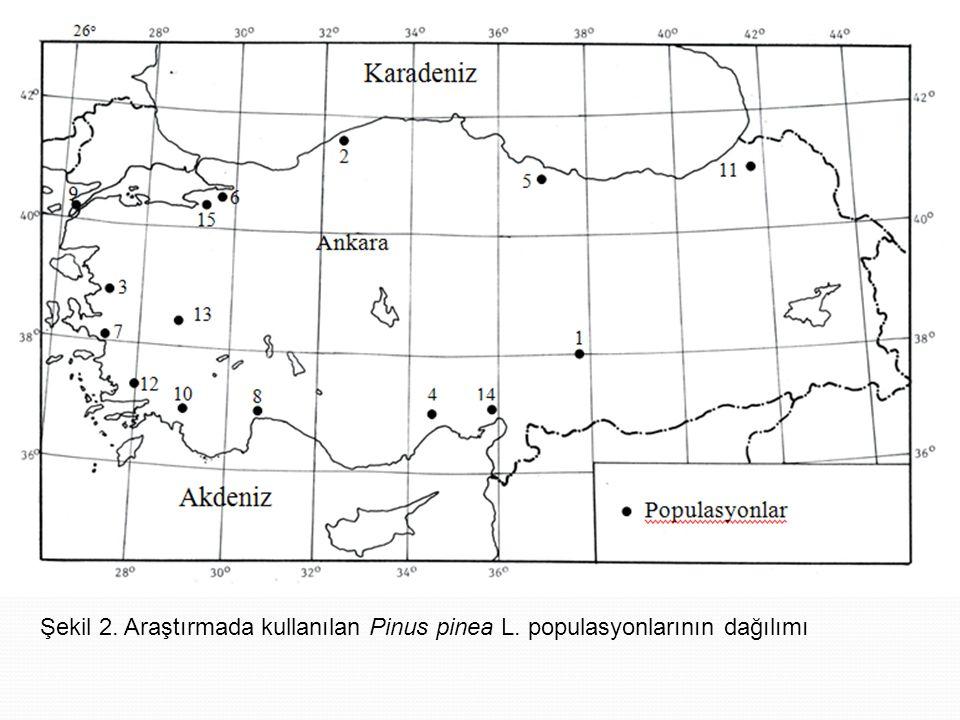 Şekil 2. Araştırmada kullanılan Pinus pinea L