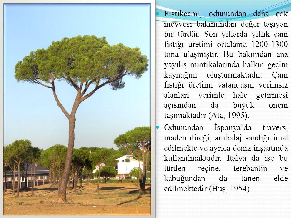 Fıstıkçamı, odunundan daha çok meyvesi bakımından değer taşıyan bir türdür. Son yıllarda yıllık çam fıstığı üretimi ortalama 1200-1300 tona ulaşmıştır. Bu bakımdan ana yayılış mıntıkalarında halkın geçim kaynağını oluşturmaktadır. Çam fıstığı üretimi vatandaşın verimsiz alanları verimle hale getirmesi açısından da büyük önem taşımaktadır (Ata, 1995).