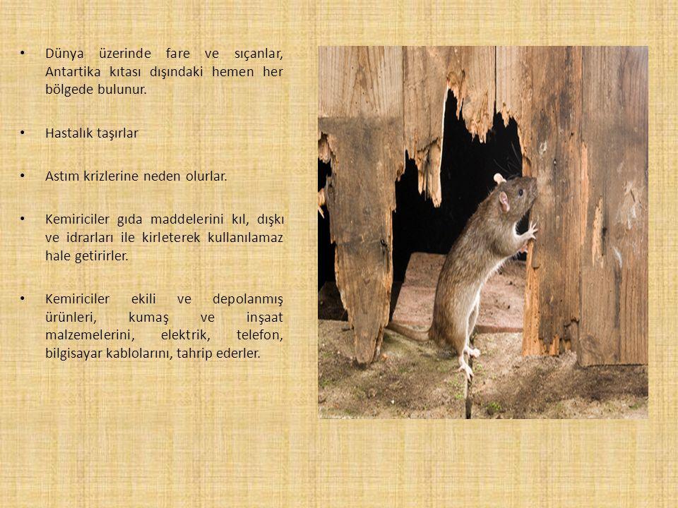 Dünya üzerinde fare ve sıçanlar, Antartika kıtası dışındaki hemen her bölgede bulunur.