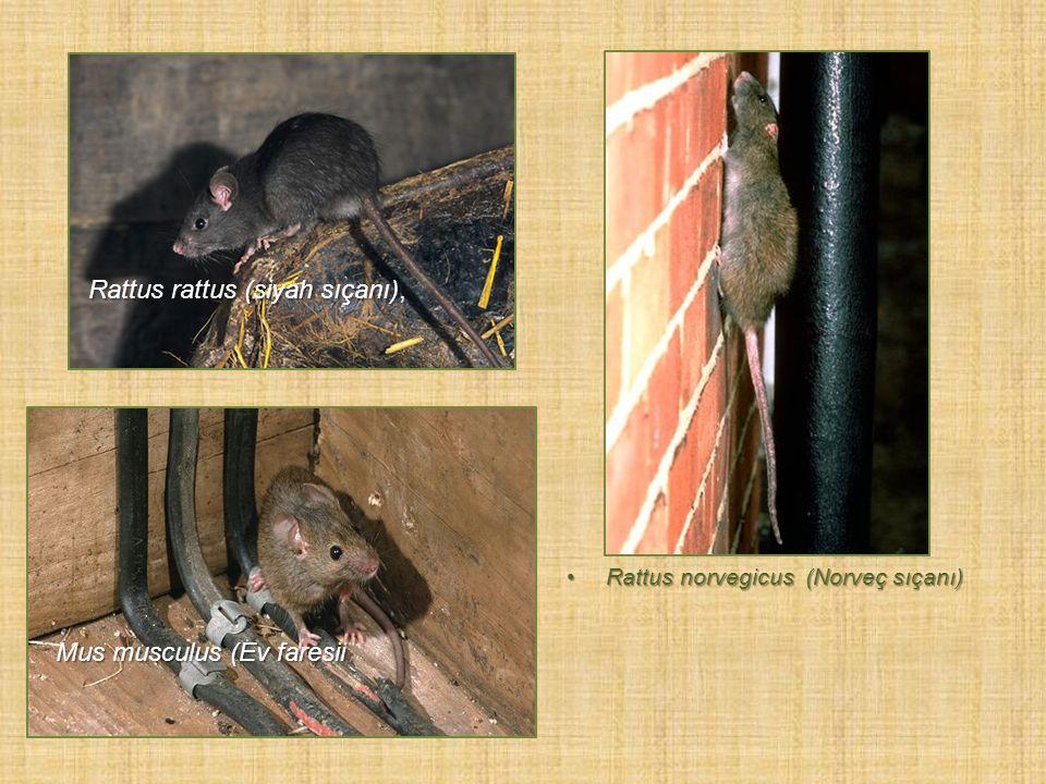 Rattus rattus (siyah sıçanı),
