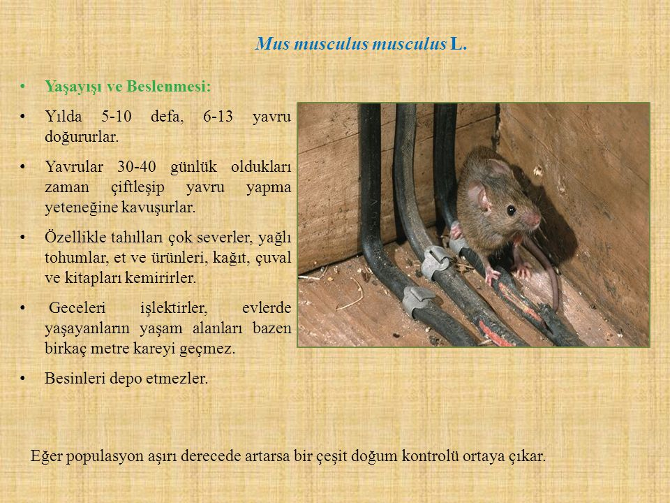 Mus musculus musculus L.