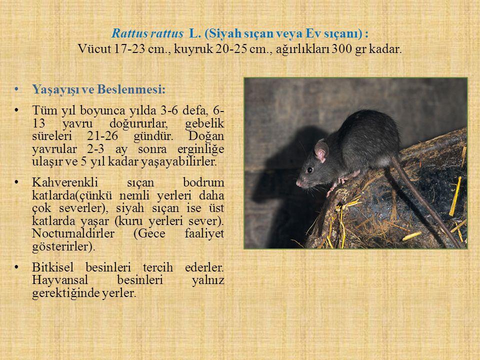 Rattus rattus L. (Siyah sıçan veya Ev sıçanı) : Vücut 17-23 cm