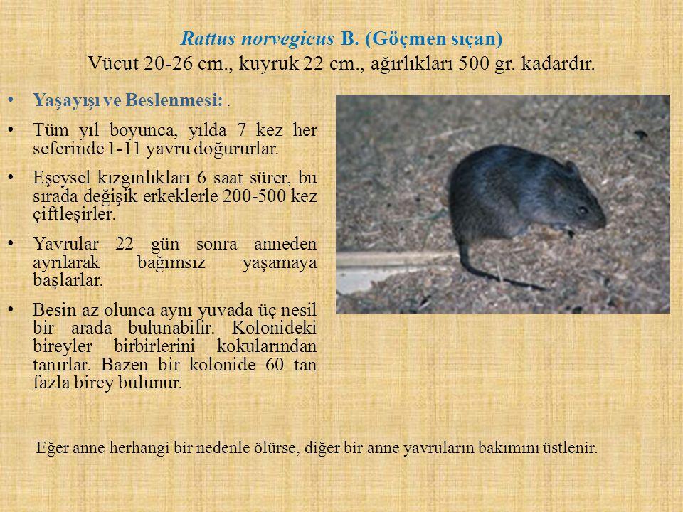 Rattus norvegicus B. (Göçmen sıçan) Vücut 20-26 cm. , kuyruk 22 cm