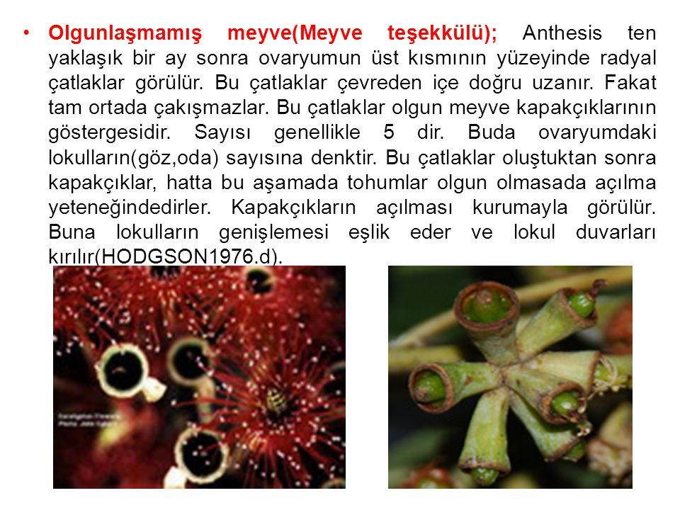 Olgunlaşmamış meyve(Meyve teşekkülü); Anthesis ten yaklaşık bir ay sonra ovaryumun üst kısmının yüzeyinde radyal çatlaklar görülür.