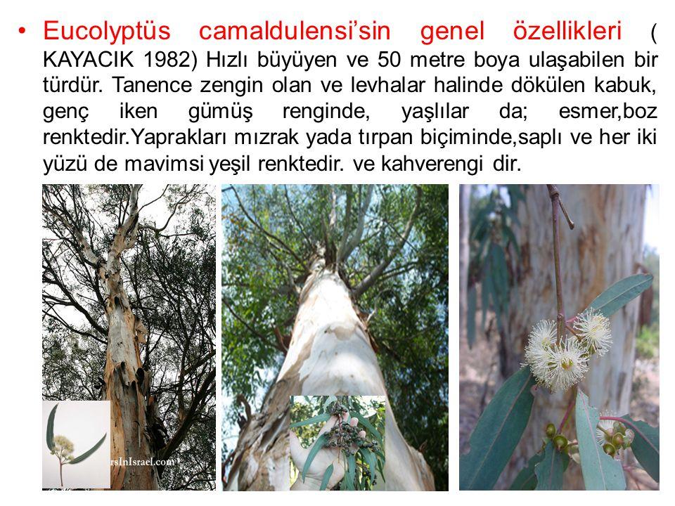 Eucolyptüs camaldulensi'sin genel özellikleri ( KAYACIK 1982) Hızlı büyüyen ve 50 metre boya ulaşabilen bir türdür.