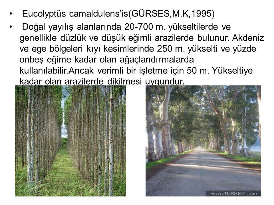 Eucolyptüs camaldulens'is(GÜRSES,M.K,1995)