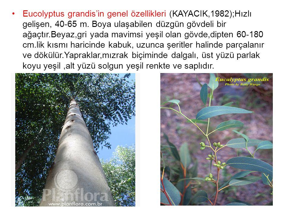 Eucolyptus grandis'in genel özellikleri (KAYACIK,1982);Hızlı gelişen, 40-65 m.