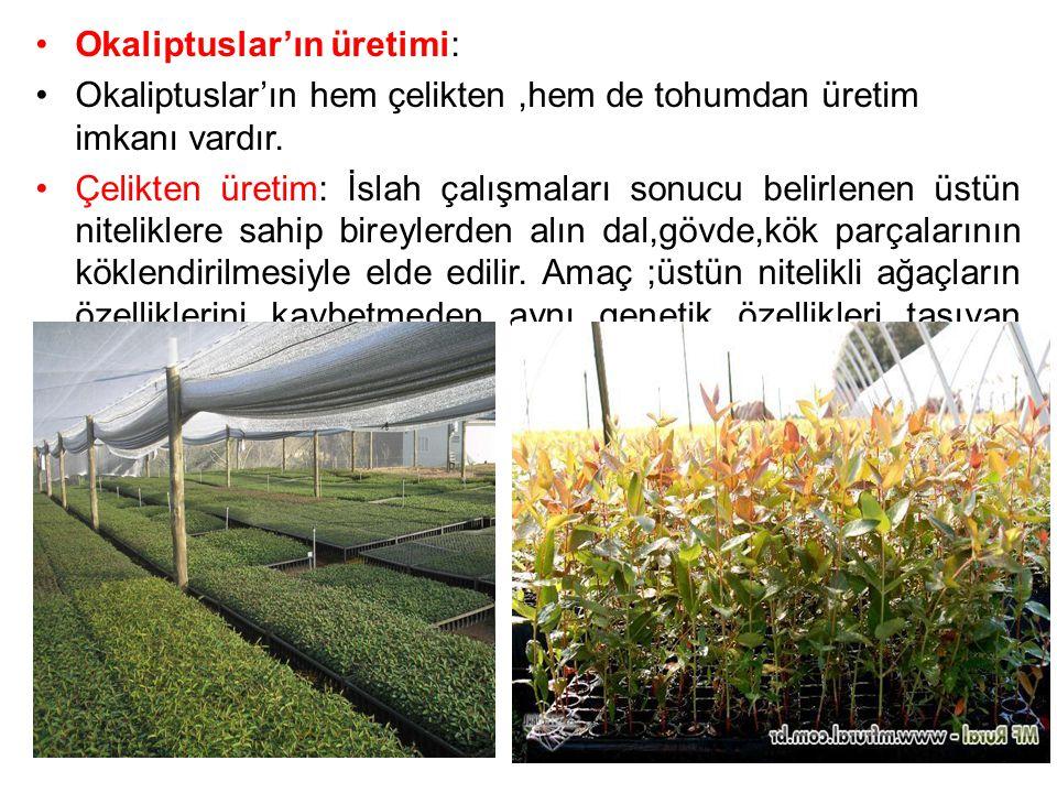 Okaliptuslar'ın üretimi: