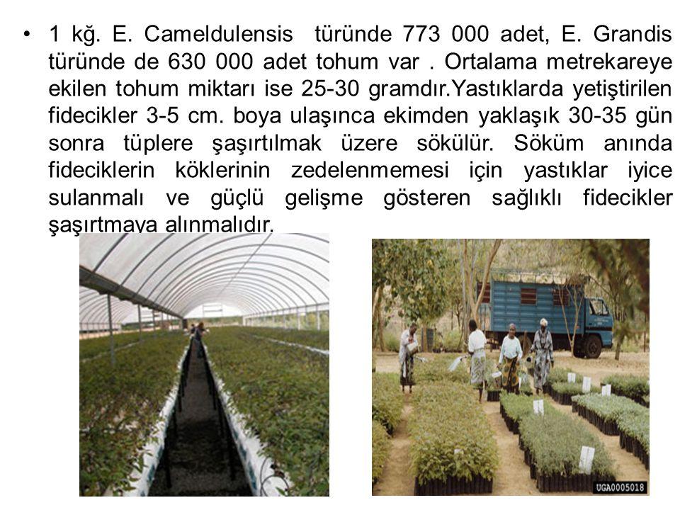1 kğ. E. Cameldulensis türünde 773 000 adet, E