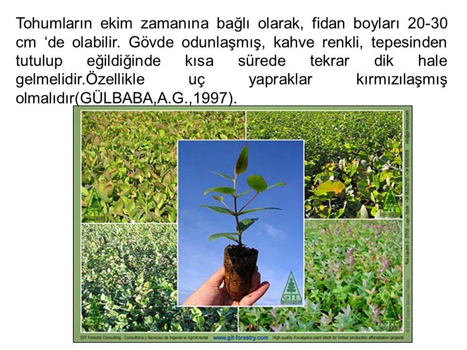 Tohumların ekim zamanına bağlı olarak, fidan boyları 20-30 cm 'de olabilir.