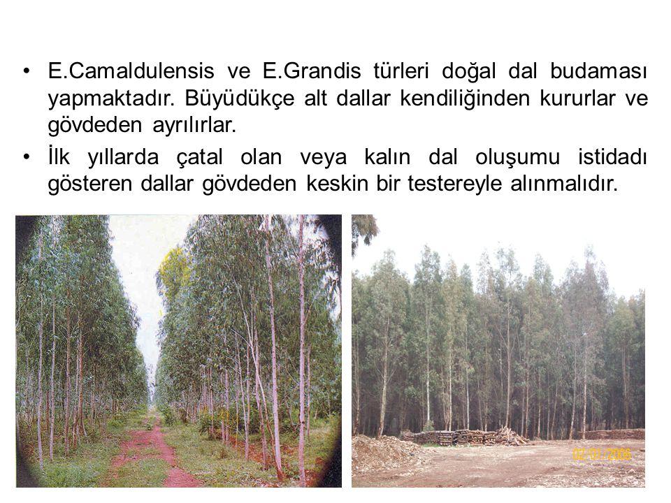E. Camaldulensis ve E. Grandis türleri doğal dal budaması yapmaktadır