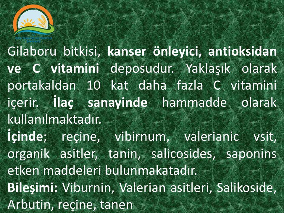 Gilaboru bitkisi, kanser önleyici, antioksidan ve C vitamini deposudur