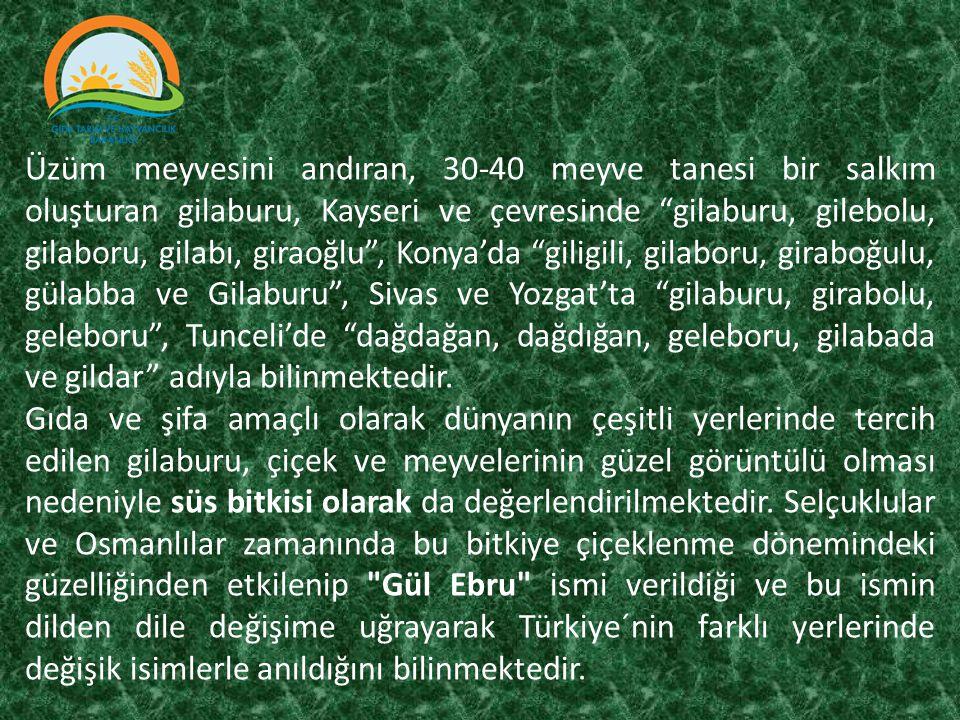 Üzüm meyvesini andıran, 30-40 meyve tanesi bir salkım oluşturan gilaburu, Kayseri ve çevresinde gilaburu, gilebolu, gilaboru, gilabı, giraoğlu , Konya'da giligili, gilaboru, giraboğulu, gülabba ve Gilaburu , Sivas ve Yozgat'ta gilaburu, girabolu, geleboru , Tunceli'de dağdağan, dağdığan, geleboru, gilabada ve gildar adıyla bilinmektedir.
