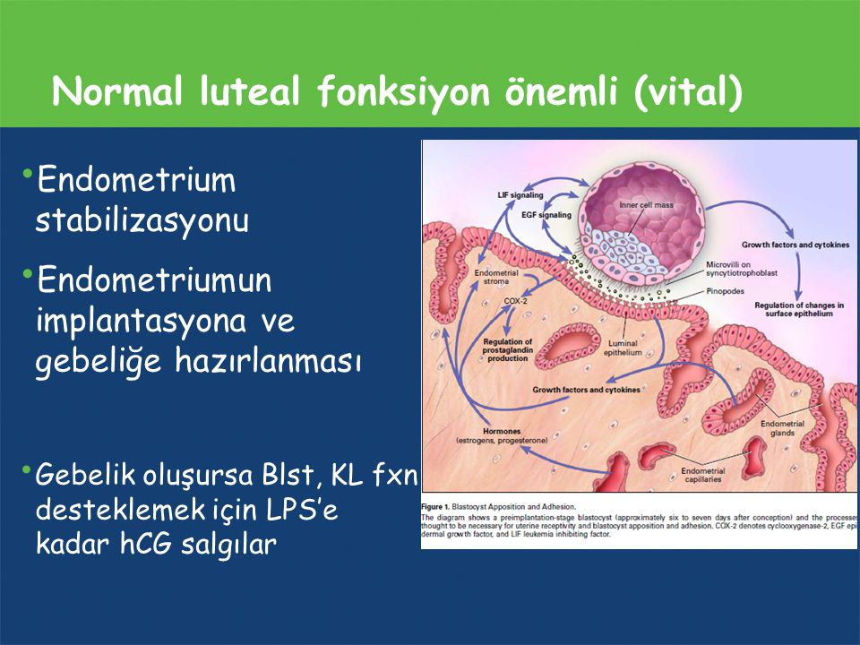 Normal luteal fonksiyon önemli (vital)