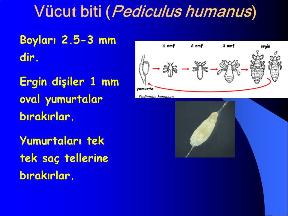 Vücut biti (Pediculus humanus)
