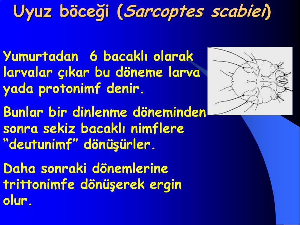 Uyuz böceği (Sarcoptes scabiei)
